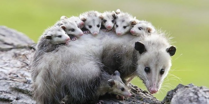 How to Get Rid of Possums – ABC Pest Control